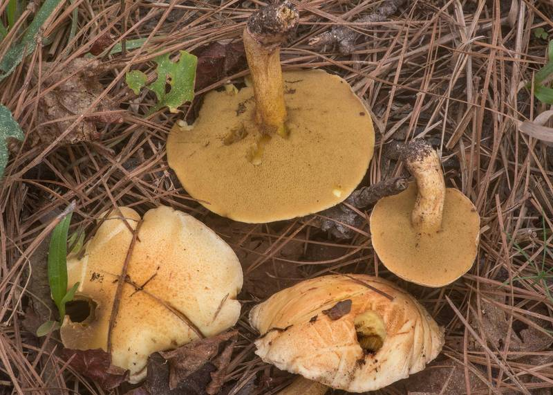 "Bolete mushroom <B>Suillus hirtellus</B> south from Stubblefield Campground in Sam Houston National Forest near Huntsville. Texas, <A HREF=""../date-en/2020-03-16.htm"">March 16, 2020</A>"