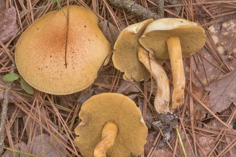 "Side view of bolete mushroom <B>Suillus hirtellus</B> south from Stubblefield Campground in Sam Houston National Forest near Huntsville. Texas, <A HREF=""../date-en/2020-03-16.htm"">March 16, 2020</A>"