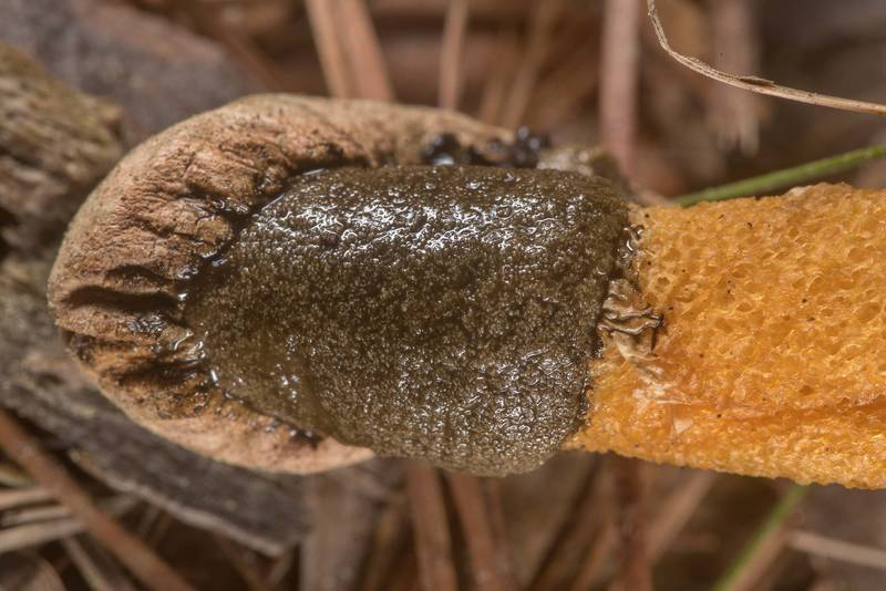 "Close-up of golden stinkhorn mushroom (<B>Phallus aurantiacus</B>) on Richards Loop Trail in Sam Houston National Forest. Texas, <A HREF=""../date-en/2020-03-18.htm"">March 18, 2020</A>"