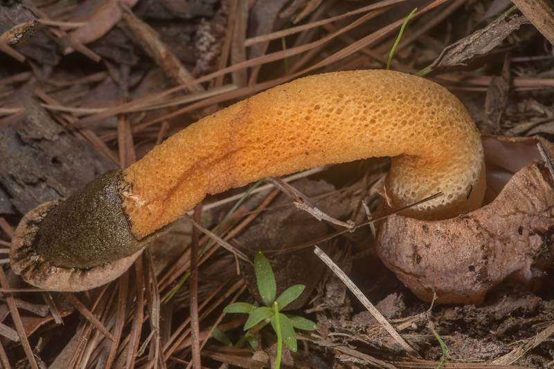"Golden stinkhorn mushroom (<B>Phallus aurantiacus</B>) near a fallen pine on Richards Loop Trail in Sam Houston National Forest. Texas, <A HREF=""../date-en/2020-03-18.htm"">March 18, 2020</A>"