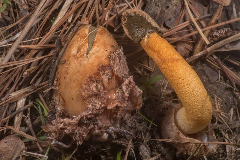 "Golden stinkhorn mushroom (<B>Phallus aurantiacus</B>) and its egg stage near a fallen pine on Richards Loop Trail in Sam Houston National Forest. Texas, <A HREF=""../date-en/2020-03-18.htm"">March 18, 2020</A>"