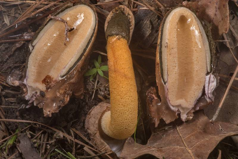 "Cross section of Golden stinkhorn mushrooms (<B>Phallus aurantiacus</B>) on Richards Loop Trail in Sam Houston National Forest. Texas, <A HREF=""../date-en/2020-03-18.htm"">March 18, 2020</A>"