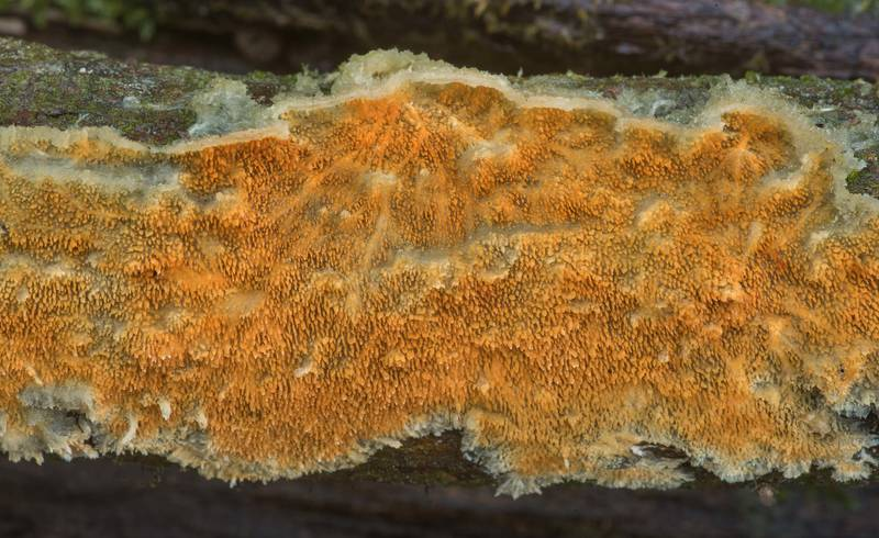 Pattern of ochre spreading tooth mushroom (Steccherinum ochraceum)(?) on a fallen twig on Lone Star Hiking Trail near Pole Creek in Sam Houston National Forest. Richards, Texas, March 22, 2020