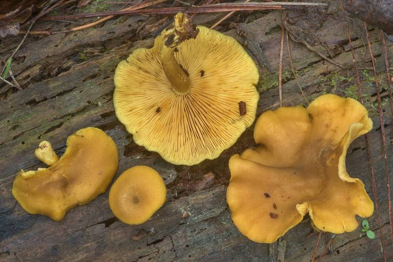 "Gills of prunes and custard mushrooms (<B>Tricholomopsis decora</B>) on a fallen pine on Lone Star Hiking Trail near Pole Creek in Sam Houston National Forest. Richards, Texas, <A HREF=""../date-en/2020-03-22.htm"">March 22, 2020</A>"