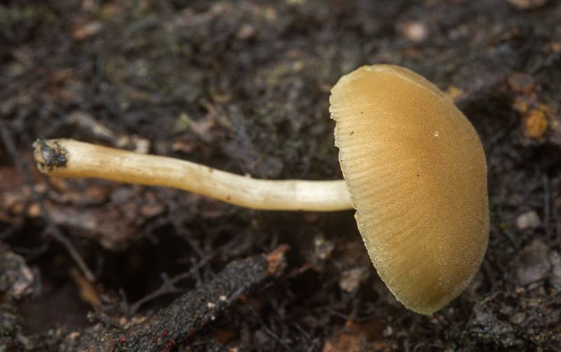 "Dingy twiglet mushroom (<B>Simocybe centunculus</B>) on a log on Lone Star Hiking Trail near Pole Creek in Sam Houston National Forest. Richards, Texas, <A HREF=""../date-en/2020-03-22.htm"">March 22, 2020</A>"