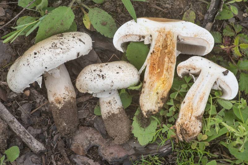 Dissected large Agaricus mushrooms in a semi-open area of a formerly burnt pine forest in Bastrop State Park. Bastrop, Texas, March 24, 2020
