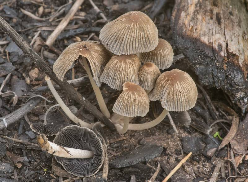 Bishop's inkcap mushrooms (Coprinellus angulatus) in area of a recent prescribed burn in Bastrop State Park. Bastrop, Texas, March 24, 2020