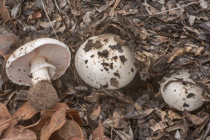 Some large Agaricus mushrooms in area of a recent prescribed burn in Bastrop State Park. Bastrop, Texas, March 24, 2020