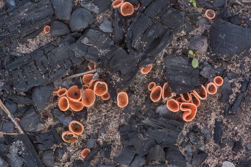 Cup fungus Tarzetta rosea (Rhodotarzetta rosea) on charred ground in Bastrop State Park. Bastrop, Texas, March 24, 2020