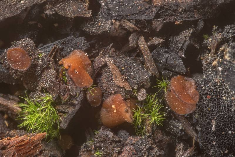 Some brown cup Ascomycete fungus on a site of old bonfire on Richards Loop Trail in Sam Houston National Forest. Texas, March 26, 2020