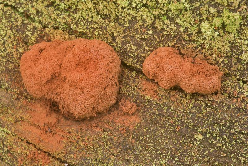 Brown sporangia of raspberry slime mold (Tubifera ferruginosa)(?) on Stubblefield section of Lone Star hiking trail north from Trailhead No. 6 in Sam Houston National Forest. Texas, March 29, 2020