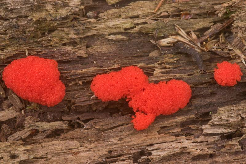 Raspberry slime mold (Tubifera ferruginosa)(?) on rotting pine(?) wood on Stubblefield section of Lone Star hiking trail north from Trailhead No. 6 in Sam Houston National Forest. Texas, March 29, 2020