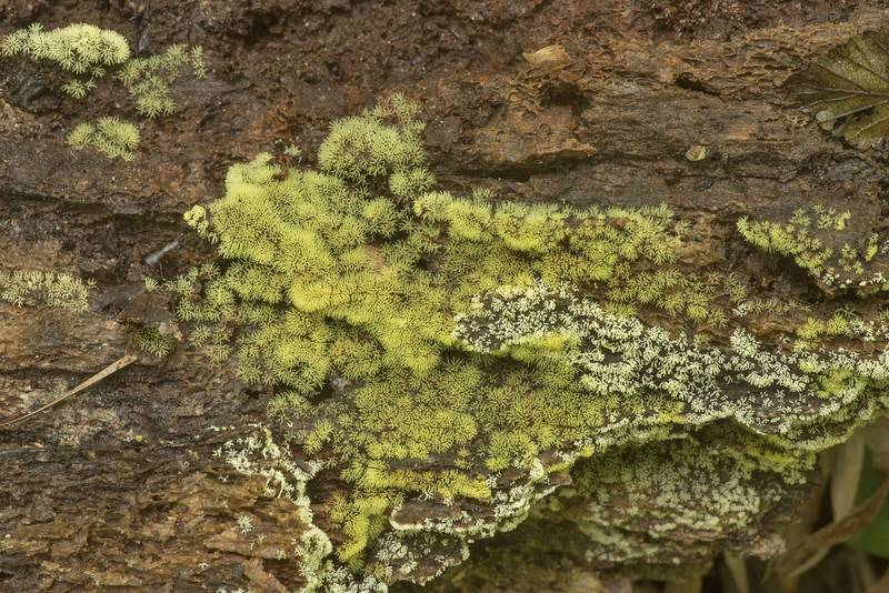 "Green filiforme type of coral slime mold <B>Ceratiomyxa fruticulosa</B> on rotting wood on Stubblefield section of Lone Star hiking trail north from Trailhead No. 6 in Sam Houston National Forest. Texas, <A HREF=""../date-en/2020-03-29.htm"">March 29, 2020</A>"