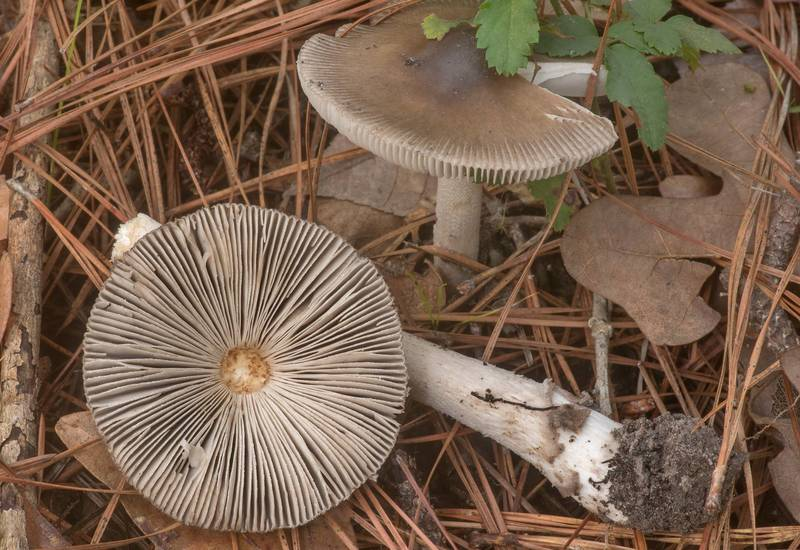 "Gills of grisette mushrooms Texan Sister Ringless Amanita (<B>Amanita texasorora</B>) on Richards Loop Trail in Sam Houston National Forest. Texas, <A HREF=""../date-en/2020-04-06.htm"">April 6, 2020</A>"