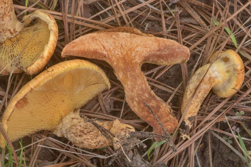 "Dissected bolete mushrooms <B>Suillus decipiens</B> on Richards Loop Trail in Sam Houston National Forest. Texas, <A HREF=""../date-en/2020-04-06.htm"">April 6, 2020</A>"