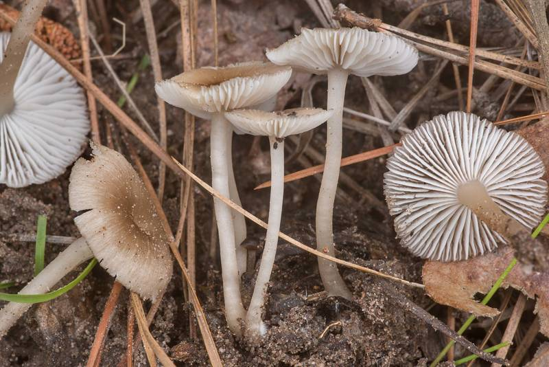 "Side view of <B>Clitocybula lacerata</B>(?) mushrooms on Richards Loop Trail in Sam Houston National Forest. Texas, <A HREF=""../date-en/2020-04-06.htm"">April 6, 2020</A>"
