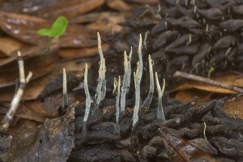 Close-up of mushrooms Xylaria magnoliae on a magnolia cone on Winters Bayou Trail in Sam Houston National Forest. Cleveland, Texas, April 7, 2020