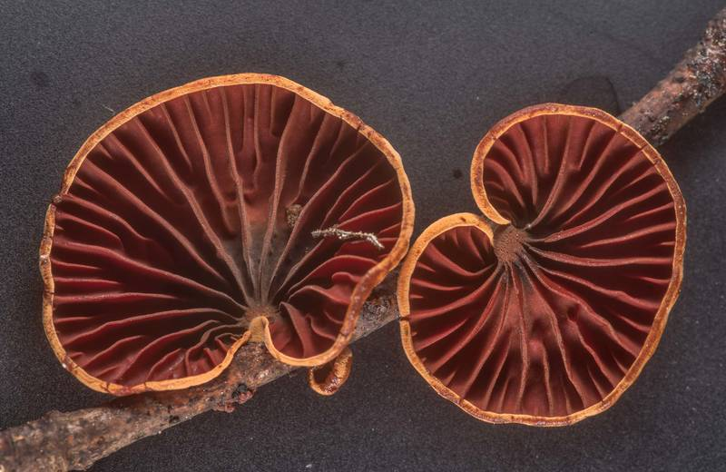 Close-up of gills of mushrooms Anthracophyllum lateritium taken from Winters Bayou Trail in Sam Houston National Forest. Cleveland, Texas, April 7, 2020
