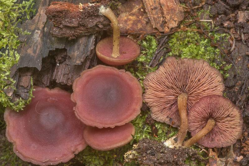 "Mushrooms <B>Callistosporium purpureomarginatum</B> causing brown cubic rot of oak wood on Caney Creek Trail (Little Lake Creek Loop Trail) in Sam Houston National Forest north from Montgomery. Texas, <A HREF=""../date-en/2020-04-10.htm"">April 10, 2020</A>"