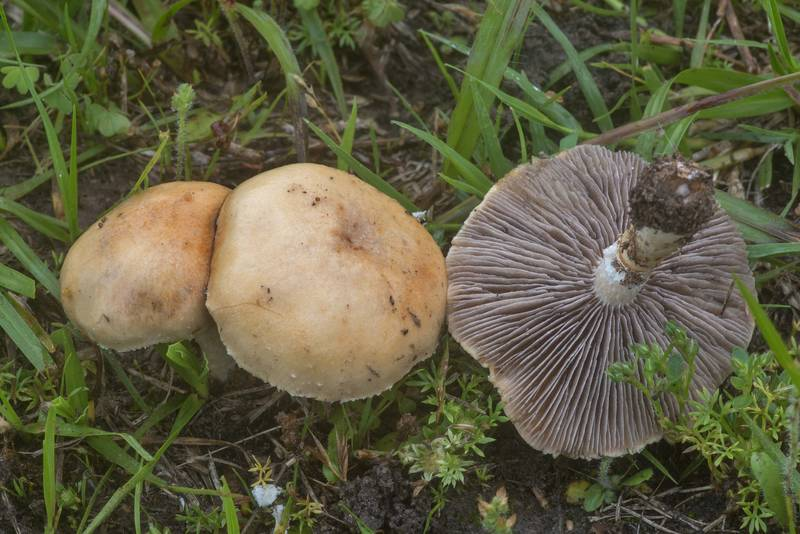 "Garland roundhead mushrooms (<B>Psilocybe coronilla</B>, Stropharia coronilla) on a lawn in Bee Creek Park. College Station, Texas, <A HREF=""../date-en/2020-04-12.htm"">April 12, 2020</A>"
