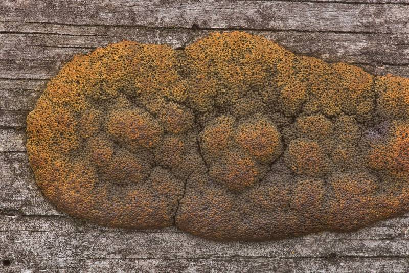 Some rusty brown slime mold on a pine log on Richards Loop Trail in Sam Houston National Forest. Texas, April 28, 2020