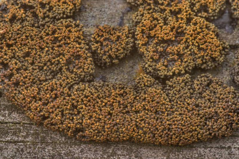 Some rusty slime mold on a pine log on Richards Loop Trail in Sam Houston National Forest. Texas, April 28, 2020