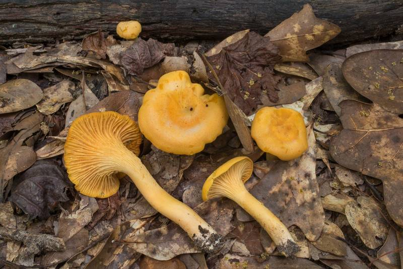 "Chanterelle mushrooms (<B>Cantharellus cibarius</B>) in Lick Creek Park. College Station, Texas, <A HREF=""../date-en/2020-05-04.htm"">May 4, 2020</A>"