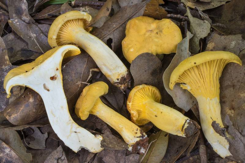 "Dissected golden chanterelle mushrooms (<B>Cantharellus cibarius</B> group) in Lick Creek Park. College Station, Texas, <A HREF=""../date-en/2020-05-07.htm"">May 7, 2020</A>"