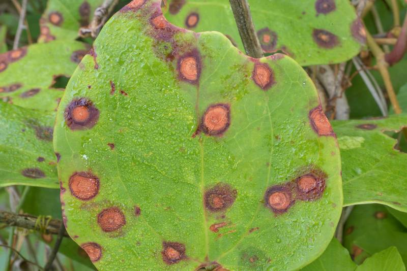 "Circular dark purplish red spots with centers fading with age caused by Deutero fungus (Cercospora smilacis) on leaves of common greenbrier (Smilax rotundifolia) on Richards Loop Trail in Sam Houston National Forest. Texas, <A HREF=""../date-en/2020-05-10.htm"">May 10, 2020</A>"