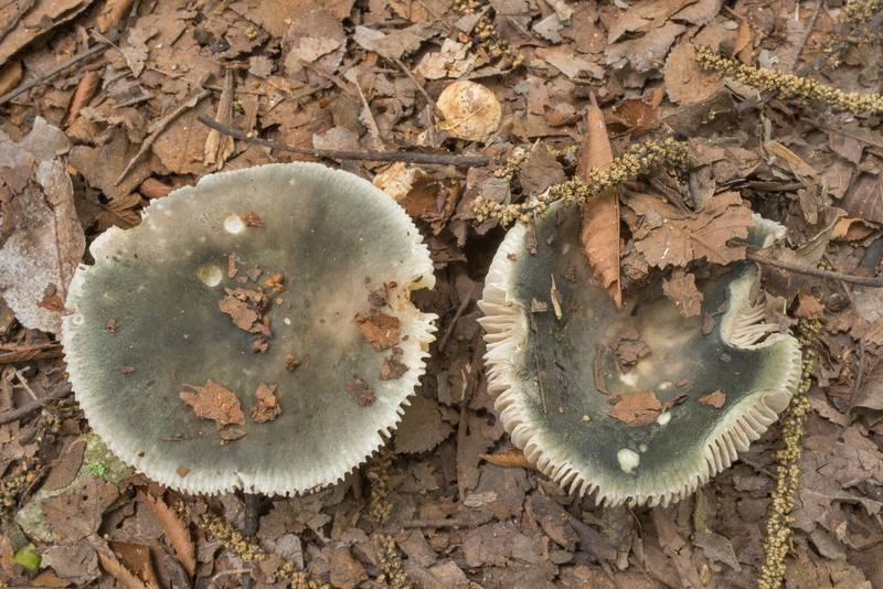 "Dark-green brittlegill mushrooms Charcoal burner (<B>Russula cyanoxantha</B>) on a sandy path in Lick Creek Park. College Station, Texas, <A HREF=""../date-en/2020-05-15.htm"">May 15, 2020</A>"