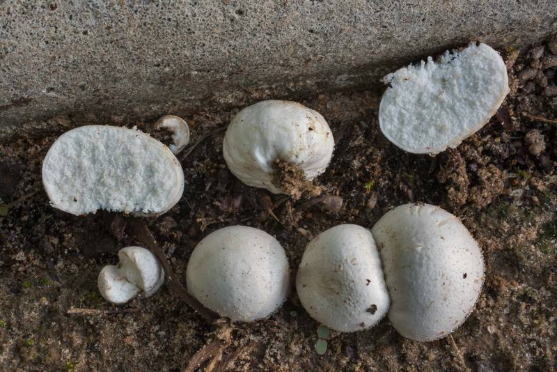 Puffball mushrooms Arachnion album on a lawn near concrete sidewalk in Lick Creek Park. College Station, Texas, May 18, 2020