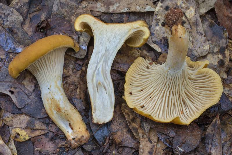 Cross section of dull orange chanterelle mushrooms Cantharellus iuventateviridis or may be C. phasmatis in Lick Creek Park. College Station, Texas, May 18, 2020