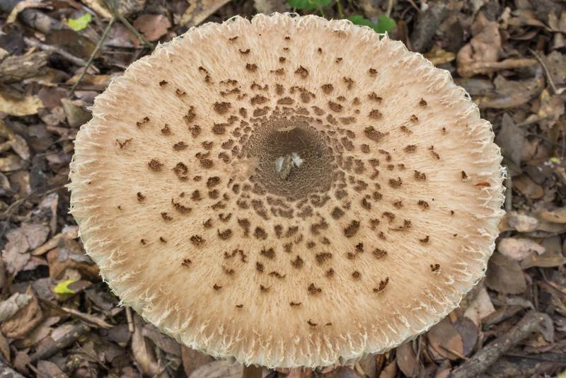 Upper view of parasol mushroom (Macrolepiota procera) in Lick Creek Park. College Station, Texas, May 22, 2020