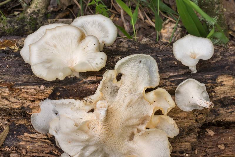 Tropical white polypore mushrooms (Favolus tenuiculus, Favolus brasiliensis) in Lick Creek Park. College Station, Texas, May 22, 2020