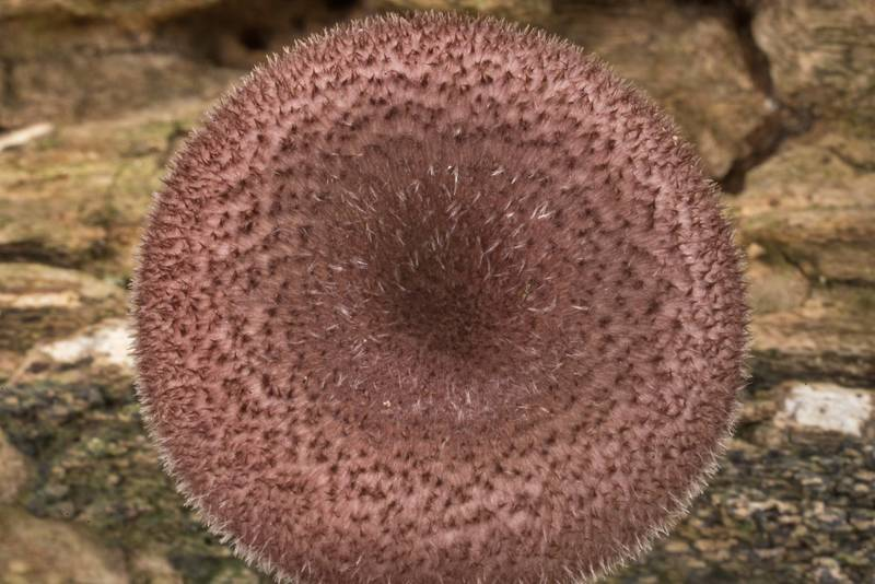 Hairy cap of a mushroom Panus strigellus in Lick Creek Park. College Station, Texas, May 22, 2020