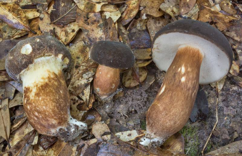 "Bolete mushrooms <B>Xanthoconium affine</B> in Lick Creek Park. College Station, Texas, <A HREF=""../date-en/2020-05-26.htm"">May 26, 2020</A>"