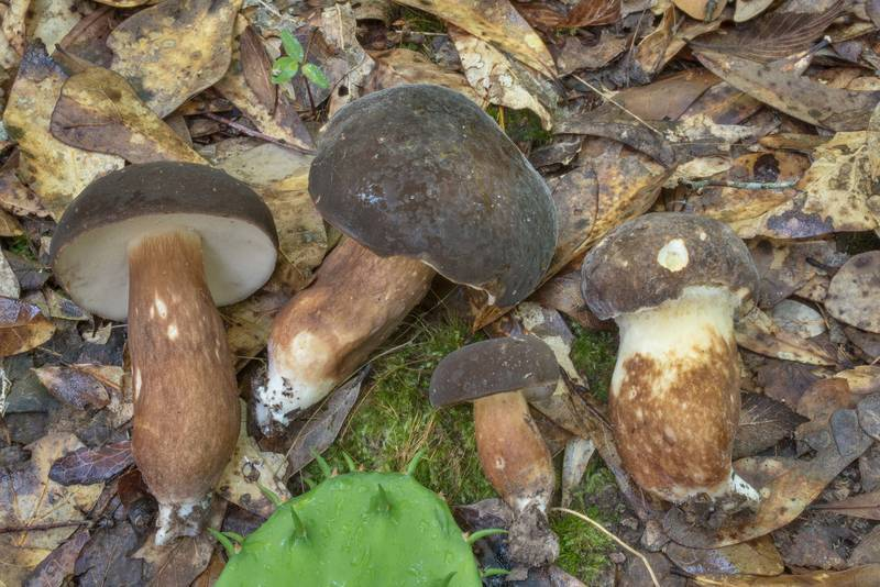"Bolete mushrooms <B>Xanthoconium affine</B> under small oaks in Lick Creek Park. College Station, Texas, <A HREF=""../date-en/2020-05-26.htm"">May 26, 2020</A>"