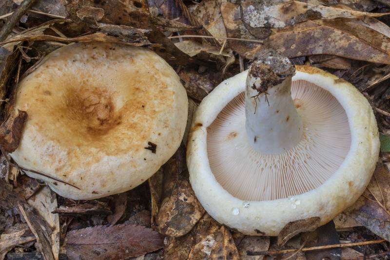 "Milkcap mushrooms <B>Lactifluus subvellereus</B> in Lick Creek Park. College Station, Texas, <A HREF=""../date-en/2020-05-26.htm"">May 26, 2020</A>"