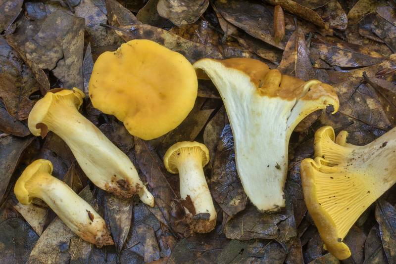 "Cross section of golden chanterelle mushrooms (<B>Cantharellus cibarius</B>) in Lick Creek Park. College Station, Texas, <A HREF=""../date-en/2020-05-26.htm"">May 26, 2020</A>"