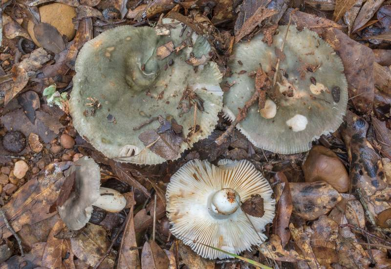 "Charcoal burner brittlegill mushrooms (<B>Russula cyanoxantha</B>) in Lick Creek Park. College Station, Texas, <A HREF=""../date-en/2020-05-26.htm"">May 26, 2020</A>"