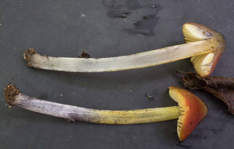 "Dissected blackening waxcap mushrooms (<B>Hygrocybe conica</B>) in Lick Creek Park. College Station, Texas, <A HREF=""../date-en/2020-05-26.htm"">May 26, 2020</A>"