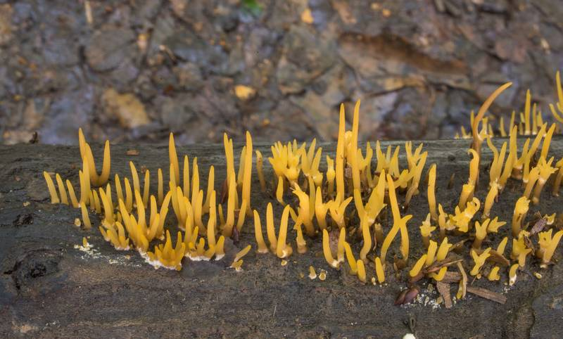 "Small stagshorn mushrooms (<B>Calocera cornea</B>) on a fallen tree branch in Lick Creek Park. College Station, Texas, <A HREF=""../date-en/2020-05-26.htm"">May 26, 2020</A>"