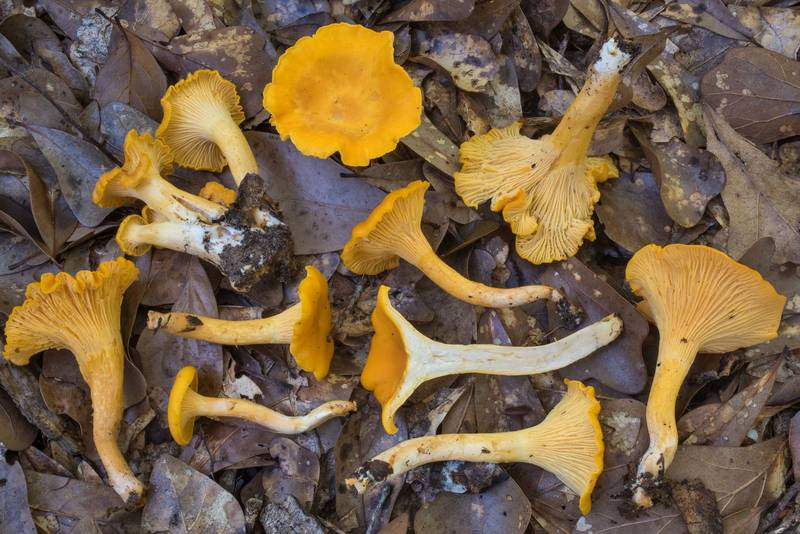 "Chanterelle mushrooms (<B>Cantharellus cibarius</B> group) in Lick Creek Park. College Station, Texas, <A HREF=""../date-en/2020-05-27.htm"">May 27, 2020</A>"