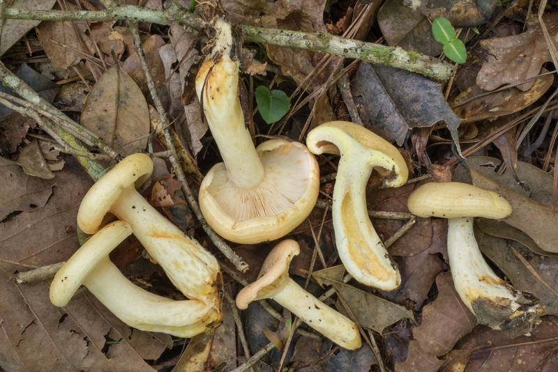 "Side view of milkcap mushrooms <B>Lactarius maculatipes</B> in Big Creek Scenic Area of Sam Houston National Forest. Shepherd, Texas, <A HREF=""../date-en/2020-05-30.htm"">May 30, 2020</A>"