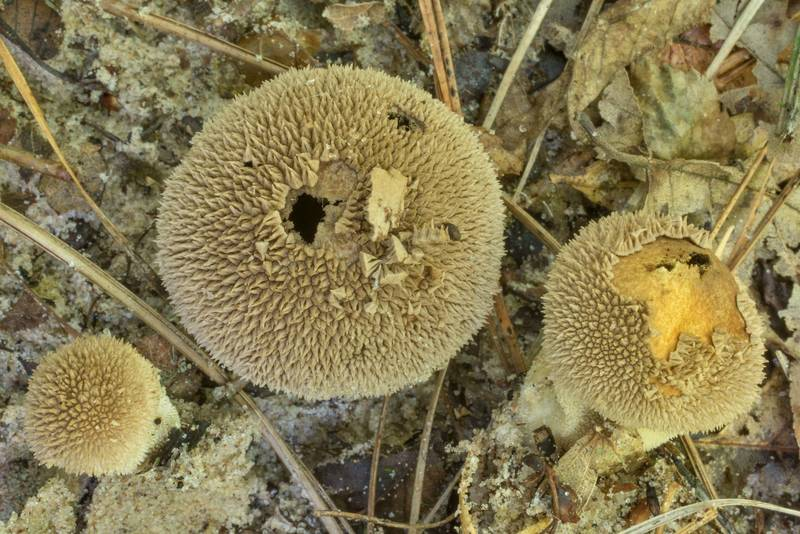 "Peeling puffball mushrooms (<B>Lycoperdon marginatum</B>) on Caney Creek Trail (Little Lake Creek Loop Trail) in Sam Houston National Forest north from Montgomery. Texas, <A HREF=""../date-en/2020-05-31.htm"">May 31, 2020</A>"