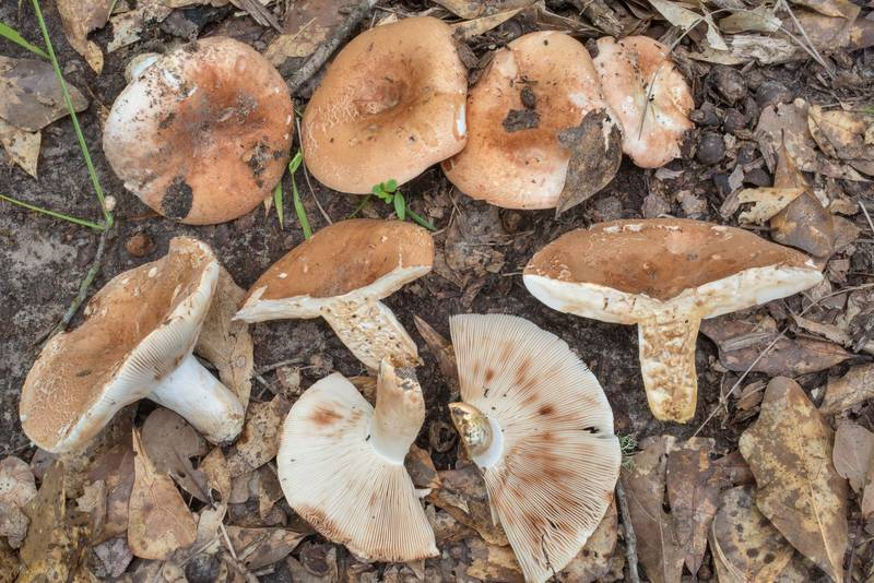 Dissected brittlegill mushrooms Russula compacta in Lick Creek Park. College Station, Texas, June 2, 2020