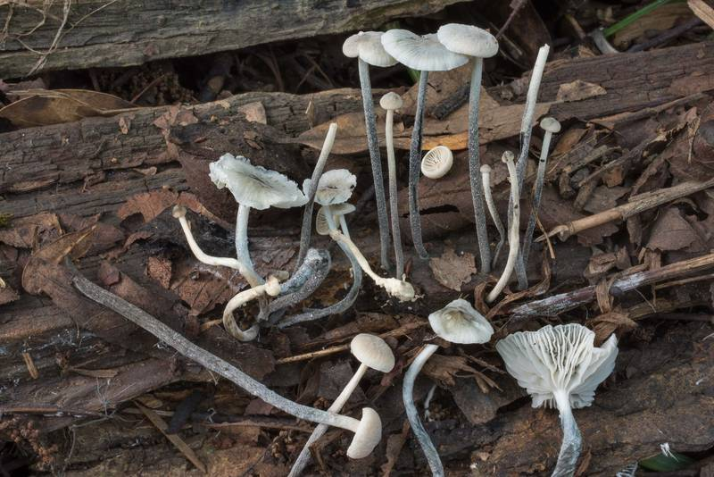 "Blackfoot parachute mushrooms (<B>Tetrapyrgos nigripes</B>) on rotting wood in Lick Creek Park. College Station, Texas, <A HREF=""../date-en/2020-06-02.htm"">June 2, 2020</A>"