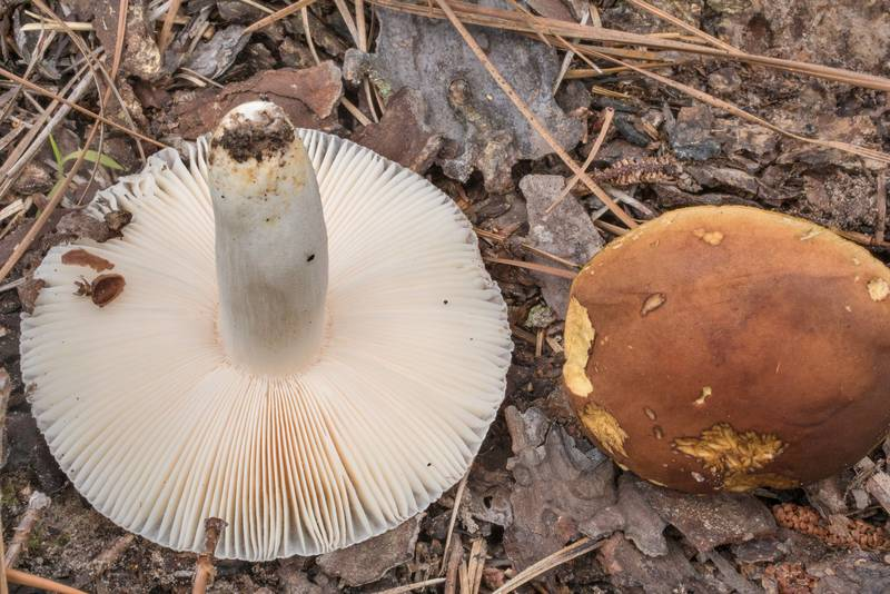 Gills of Russula mushroom and golden-pored bolete (Aureoboletus auriporus)(?) on Richards Loop Trail in Sam Houston National Forest. Texas, June 3, 2020
