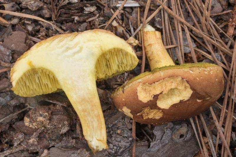 Dissected golden-pored bolete mushroom (Aureoboletus auriporus)(?) on Richards Loop Trail in Sam Houston National Forest. Texas, June 3, 2020