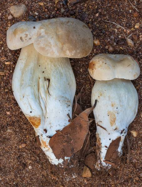 "Young porcini bolete mushrooms (Boletus sect. Boletus, <B>Boletus edulis</B> group) in Lick Creek Park. College Station, Texas, <A HREF=""../date-en/2020-06-05.htm"">June 5, 2020</A>"